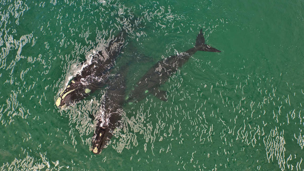 Southern Right Whales in Walker Bay, Gansbaai South Africa