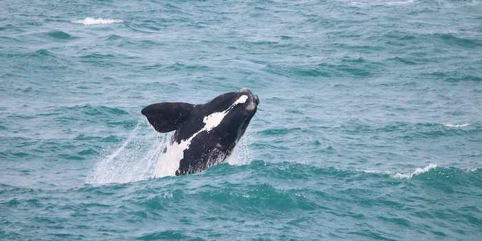 Southern Right Whales at De Kelders Gansbaai South Africa