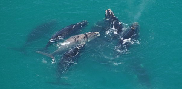Pod of Southern Right Whales in Walker Bay De Kelders South Africa