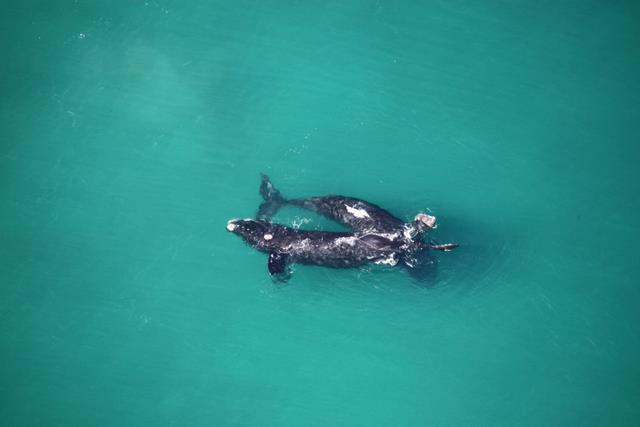 Southern Right Whales in Walker Bay South Africa