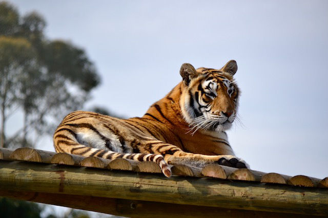 Visit the tiger at Panthera Africa near De Kelders South Africa